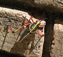 Southeastern Lubber Grasshopper species?? - Romalea microptera