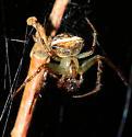 Small spider - Araneus miniatus