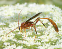 Red Wasp - female