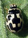 Fourteen-spotted Lady Beetle - Propylea quatuordecimpunctata - female