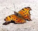 Comma or Question Mark? - Polygonia comma