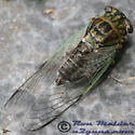 Cicada - Diceroprocta vitripennis