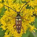 Cerambycidae: Typocerus velutinus? - Typocerus