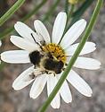 fly number 2 - Eristalis anthophorina