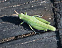 Grasshopper Nymph - Chortophaga viridifasciata