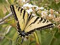 Papilio rutulus - Western Tiger Swallowtail - Papilio rutulus