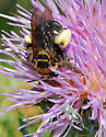 2 Bees - Svastra obliqua