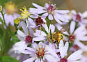 Hairy-banded Andrena (Andrena hirticincta) swPA - Andrena hirticincta