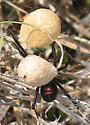 Southern Black Widow Spider? - Latrodectus mactans - female