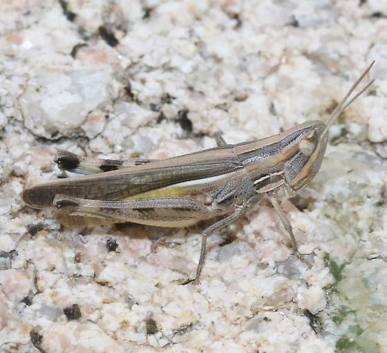 Acrididae - Amphitornus coloradus