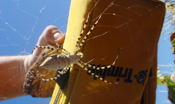 Spider in Upper Moapa Valley, Southern Nevada - Argiope trifasciata