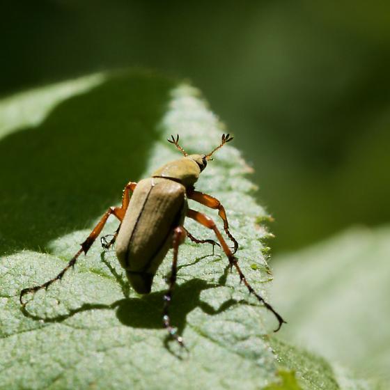 Macrodactylus angustatus - Macrodactylus