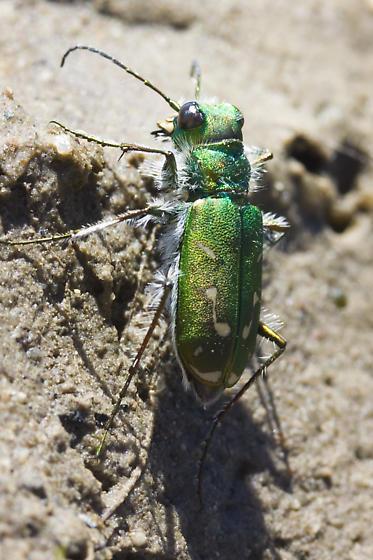 Unknown Tiger Beetle from California - Cicindela tranquebarica
