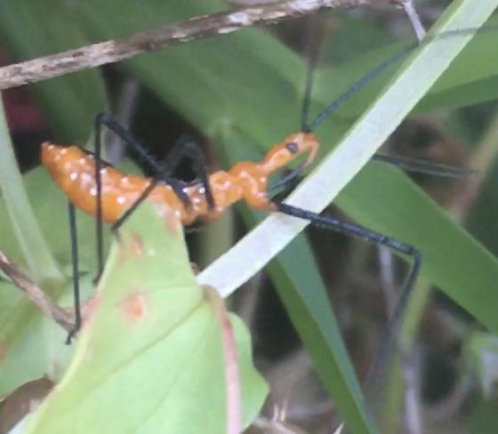 Assassin bugs - Zelus longipes