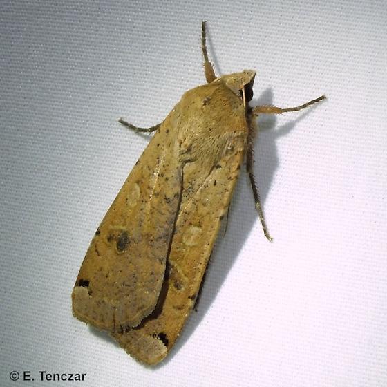 Moth - Noctua pronuba