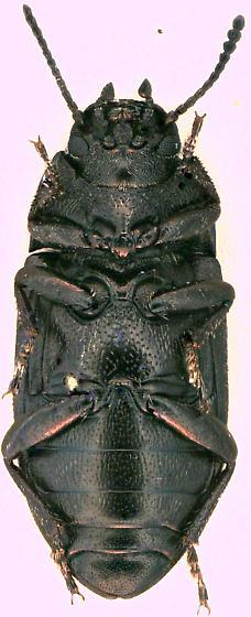 Tenebrionidae sp. - Blapstinus metallicus