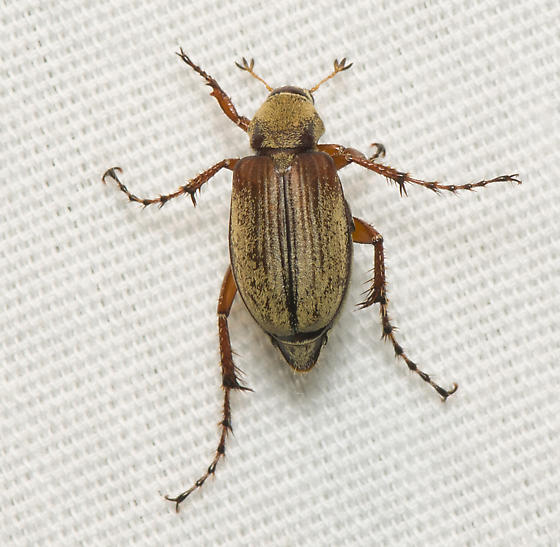 Unknown beetle - Macrodactylus