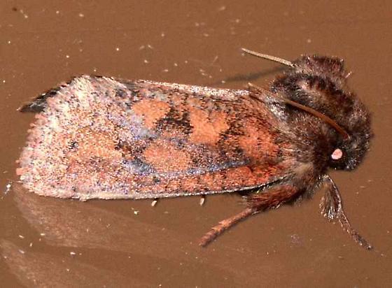 Acrolophus plumifrontella - male
