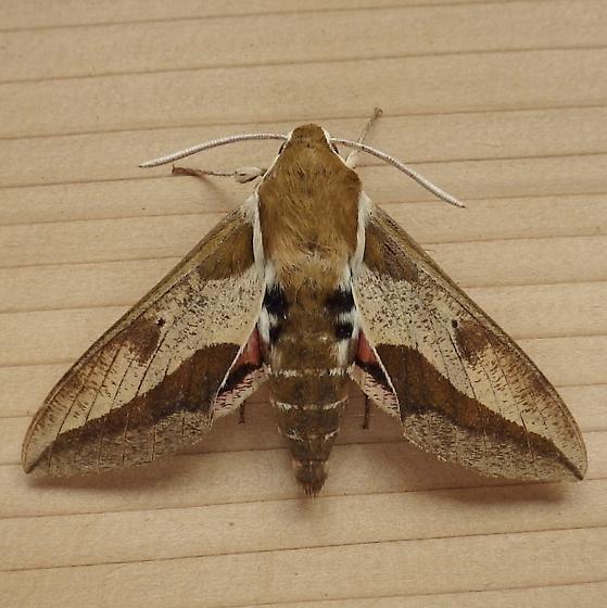 Sphingidae: Hyles euphorbiae - Hyles euphorbiae