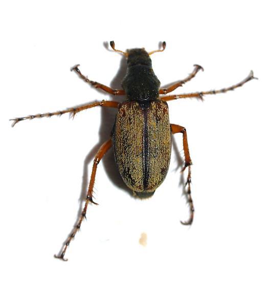 Macrodactylus uniformis