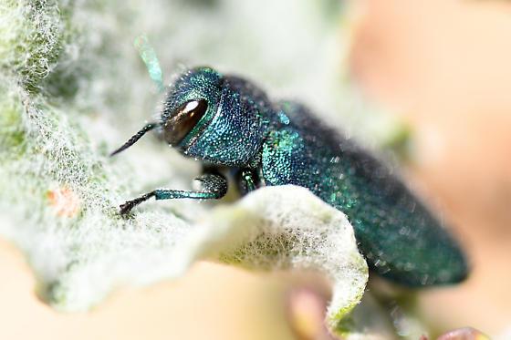 Chrysobothris beetle - Chrysobothris