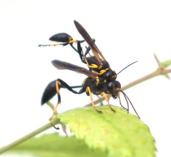 Black and yellow mud dauber mating - Sceliphron caementarium - male - female