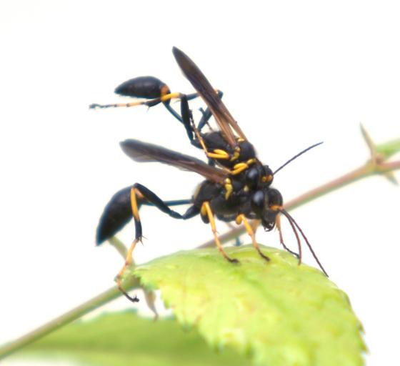 Black and yellow mud dauber mating - Sceliphron caementarium - male - female