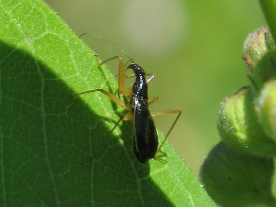 Assassin Bug??? - Nabis subcoleoptratus