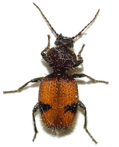 Like a Velvet Ant - Micrixys distincta