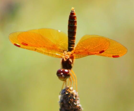 Unknown dragonfly - Perithemis tenera