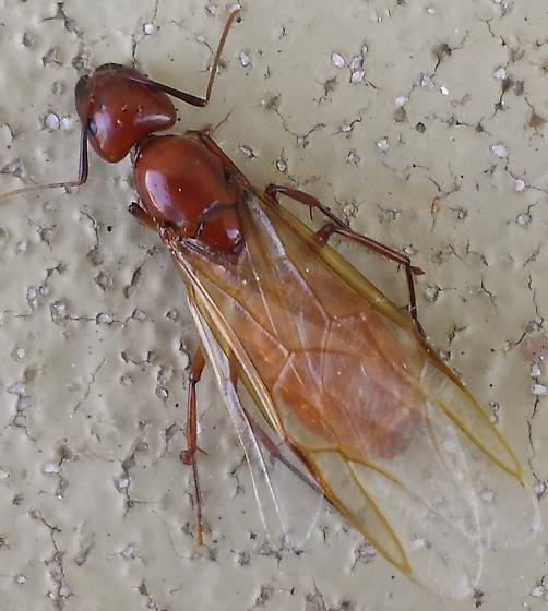 Camponotus castaneus - female