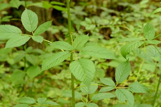 Host Plant  - Enchenopa