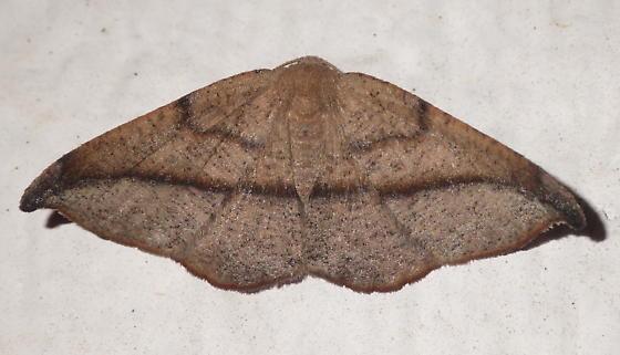 Ennominae - Patalene olyzonaria