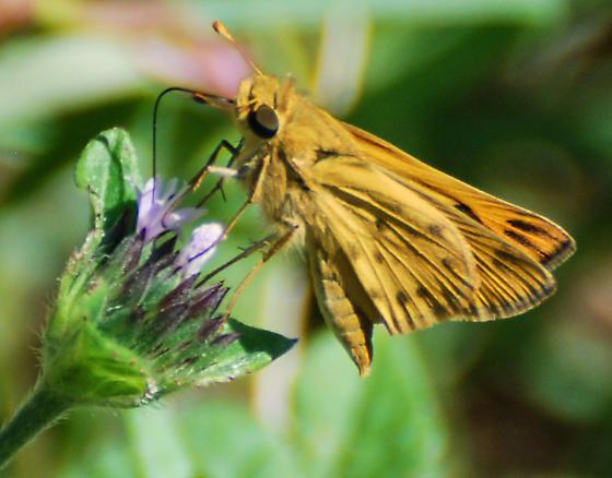 Hylephila phyleus - Fiery Skipper - Hodges#4013? - Hylephila phyleus