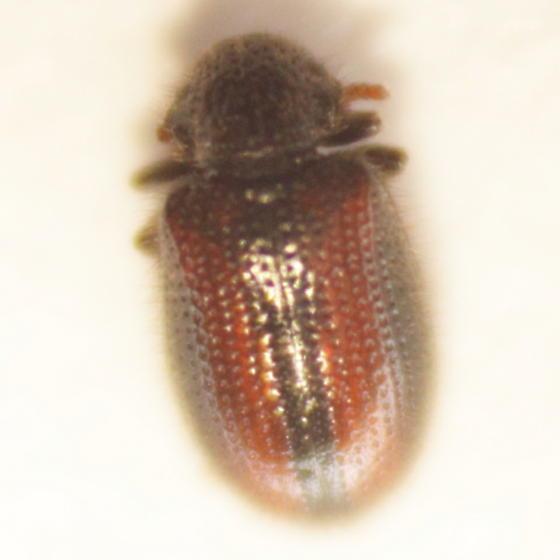 Beetle - Laricobius rubidus