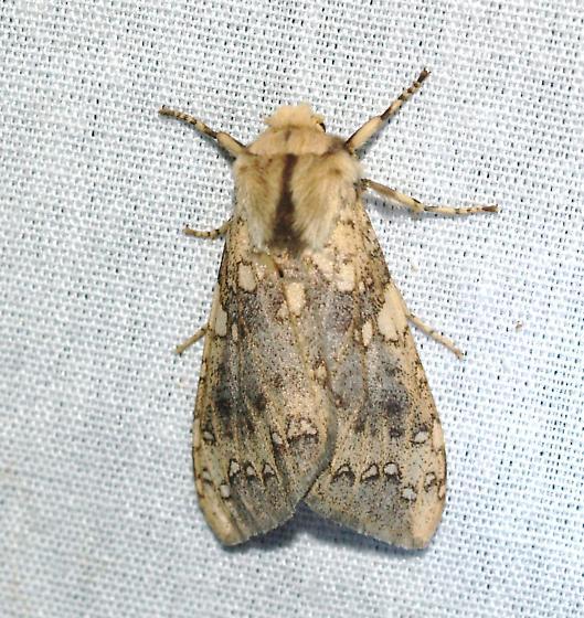 Acrtiinae - Hypocrisias minima