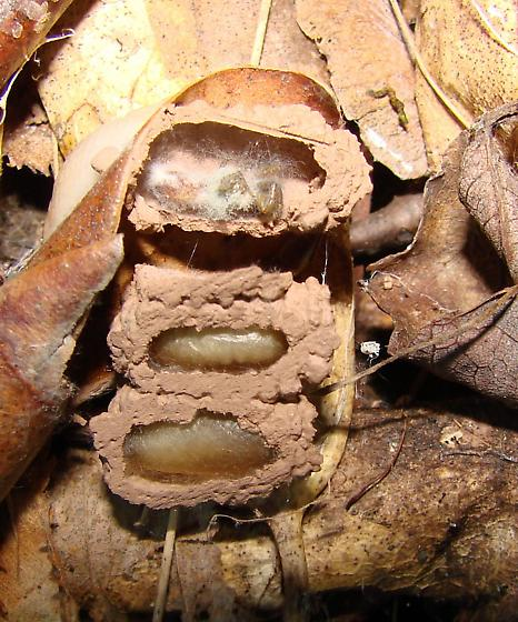 another wasp nest