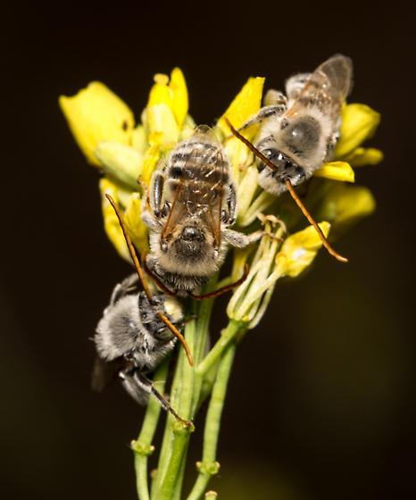 long horned bees - Melissodes