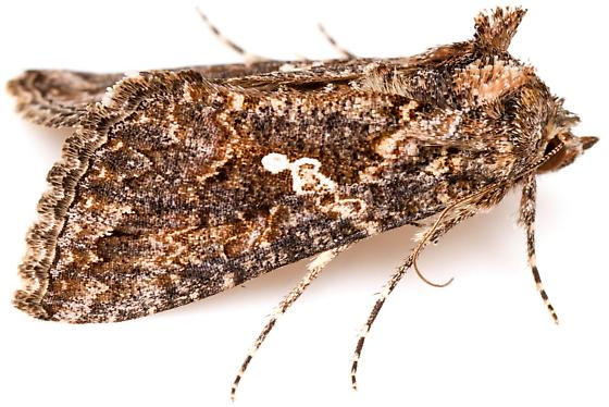 Cabbage Looper Moth? - Trichoplusia ni - BugGuide Net