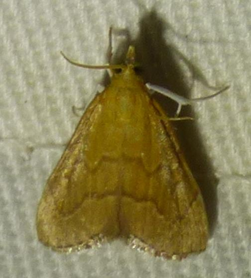 Aethiophysa invisalis