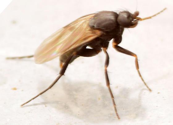 scuttle fly - male