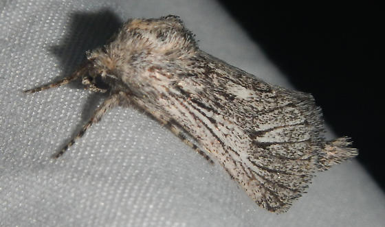Genus Givira? - Hypopta palmata - male