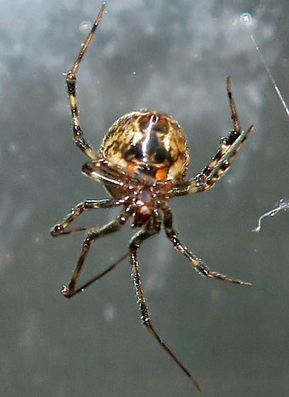 Unidentified Cobweb Spider - female