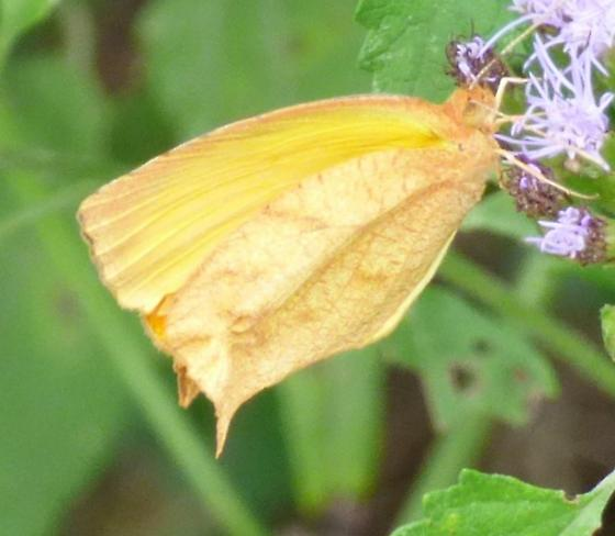 unkown butterfly - Pyrisitia proterpia