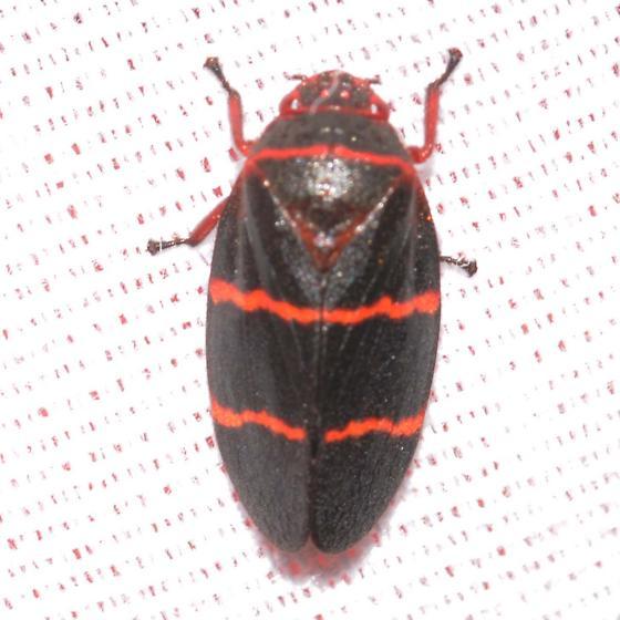 Two-lined Spittlebug - Prosapia bicincta - Prosapia bicincta