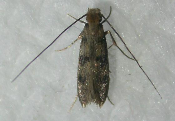 Phereoeca uterella