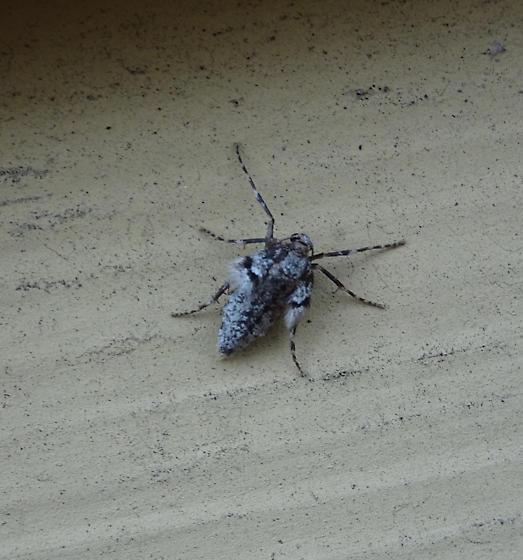 Nymph? - Operophtera brumata - female