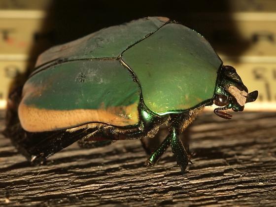 Scarab Beetle. Cotinis mutabilis? - Cotinis mutabilis