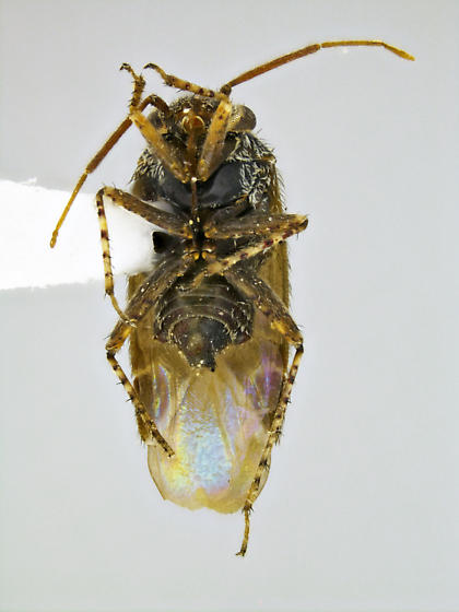 Megalopsallus humeralis - male