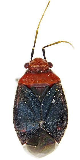 Female, Yucca Plant Bug? - Halticotoma - female